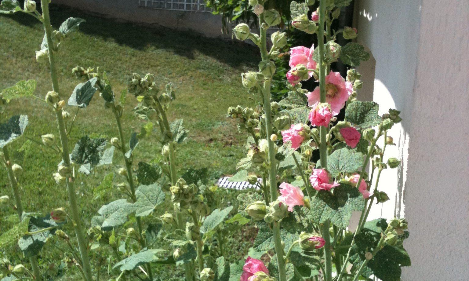 Closdescamapnules-rosestrémières